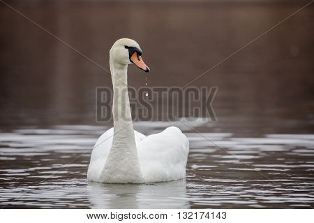 Stunning swan with drops of water from the beak
