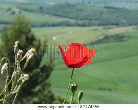 Red poppy flower in Tuscany countryside with rolling hills