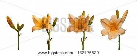 Branch yellow-orange miniature hemerocallis bud growing in germination sequence on a white background isolated