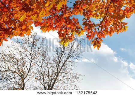 Autumn leaves on tree with the blue sky background