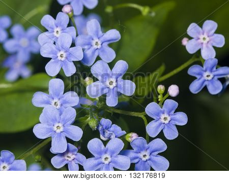 Forget me not Myosotis small flowers macro selective focus shallow DOF