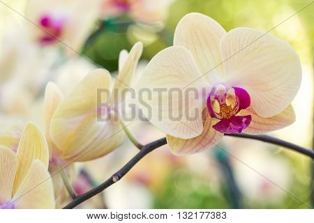 Yellow phalaenopsis orchid flower in the garden