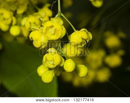 Yellow flowers and buds cluster on blooming Common or European Barberry Berberis Vulgaris with bokeh background macro selective focus shallow DOF
