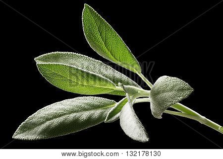Sage (salivia Officinalis) Leaves