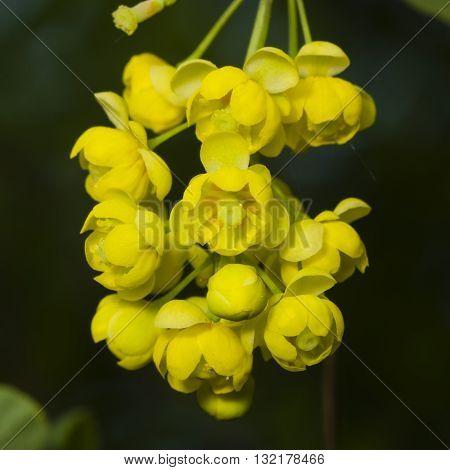 Yellow flowers cluster on blooming Common or European Barberry Berberis Vulgaris macro selective focus shallow DOF