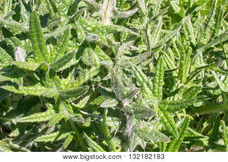 Carduus acanthoides thistle plant in Leidschendam, the Netherlands.