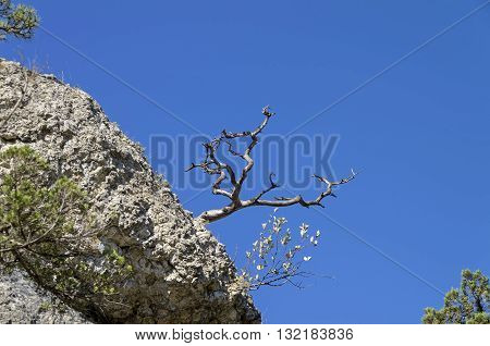 dried relict pine on the background of bright blue cloudless sky. Crimea.