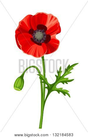 Vector red poppy with stem isolated on a white background.