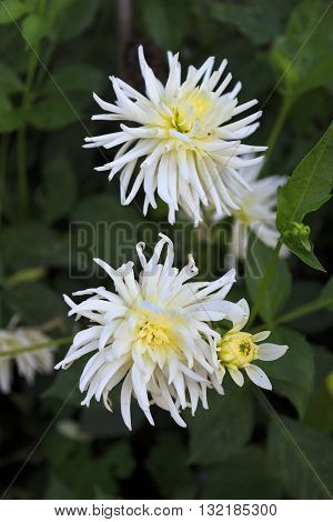 Two pretty white dahlia flowers in bloom