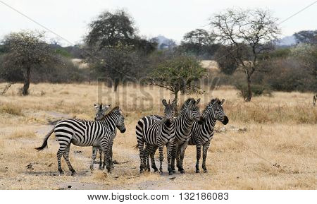 Three Zebras on alert for danger while 2 Zebras are having an altercation