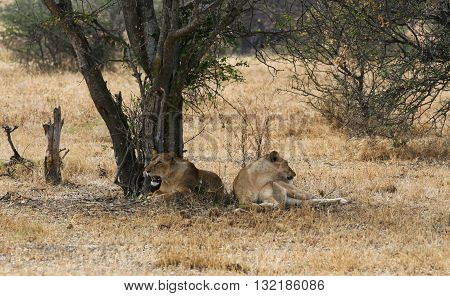 2 Lioness resting under a tree watching their surroundings.