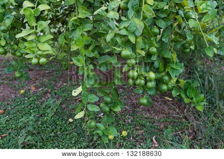 Lime green tree hanging from the branches of it.