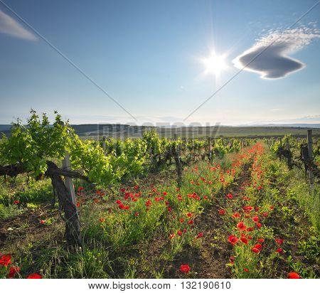 Landscape of vineyard. Nature composition.