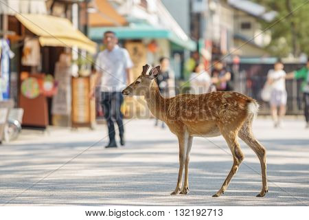 Shallow depth of field with deer in the streets of Miyajima Island in Japan