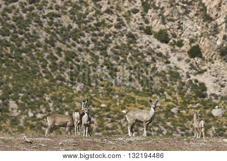 Group of rare North Andean Deer (Hippocamelus antisensis) on the altiplano in Lauca National Park, northern Chile.