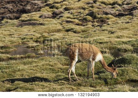 Adult vicuna (Vicugna vicugna) grazing in a wetland in Lauca National Park on the Altiplano of north east Chile.