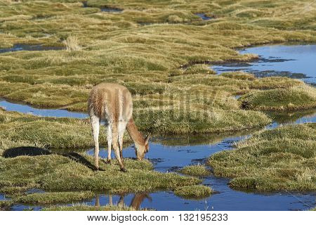 Baby vicuna (Vicugna vicugna) grazing in a wetland in Lauca National Park on the Altiplano of north east Chile.