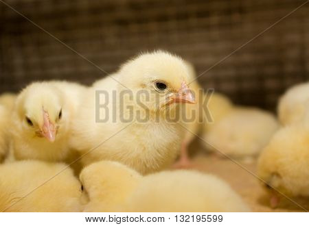 A lot of small chickens at the poultry farm