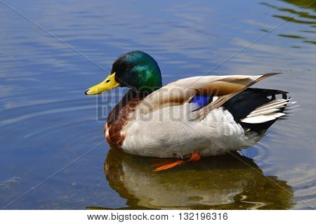 A male Mallard duck Latin name Anas platyrhynchos