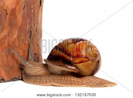 Snail And Pine Tree. Isolated On White Background