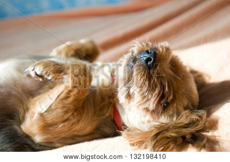 Yorkshire terrier with hairstyle taking sunbath on a coach