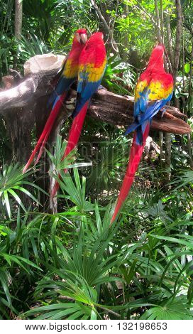 Three Scarlet Macaws sitting on a branch - two communicating, one is an outsider