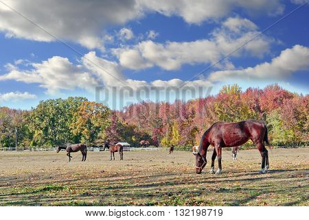 Horses quietly grazing in a field on a farm in Maryland in Autumn