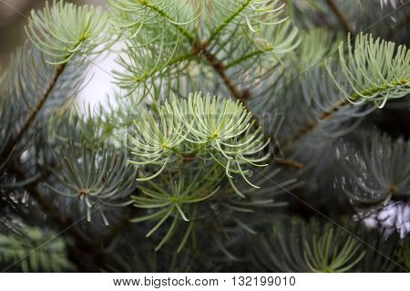 Foliage of a white fir ( Abies concolor).