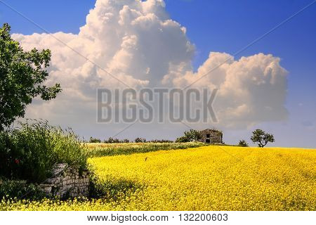 RURAL LANDSCAPE SPRING. Field of yellow flowers.ITALY(Apulia)