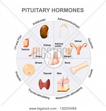 pituitary hormone functions. The two lobes anterior and posterior function as independent glands.