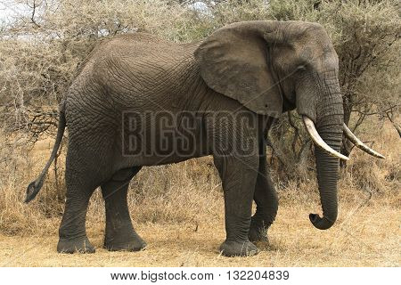 One African Elephant walking, tail swaying, trunk curled under