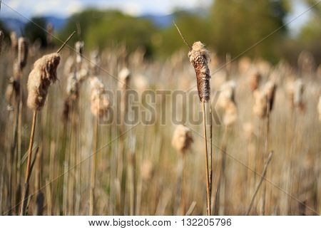 Many foxtail plants in a swamp - close up of a Foxtail.