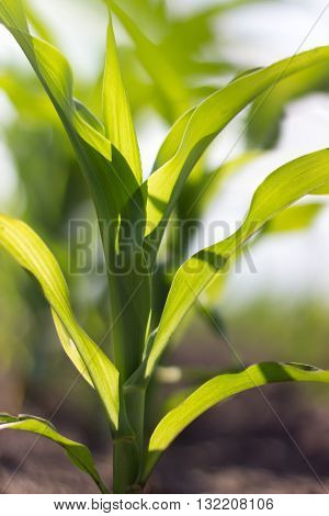 Green corn field, Young green corn in field, selective focus