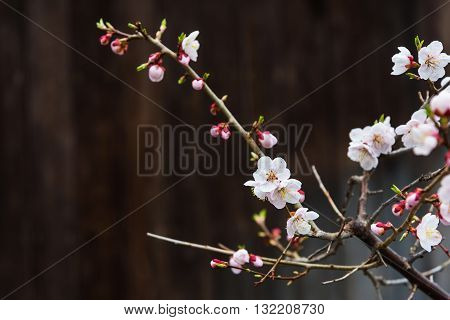 White Cherry Blossom With Wooden Background