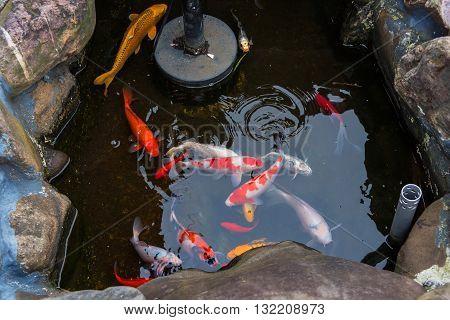 Koi fish in stone pond Hakodate Hokkaido Japan