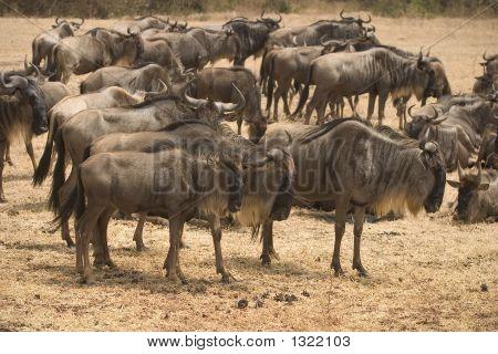 Wild Animal In Africa, Serengeti National Park