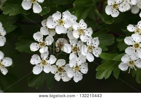 Flowers of a common hawthorn or single-seeded hawthorn bush (Crataegus monogyna). The plant is used in traditional herbalism.