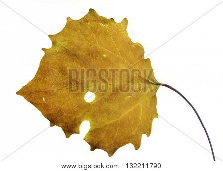 gold aspen fall leaf isolated on white background