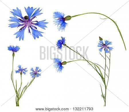 blue chicory flowers collection isolated on white background