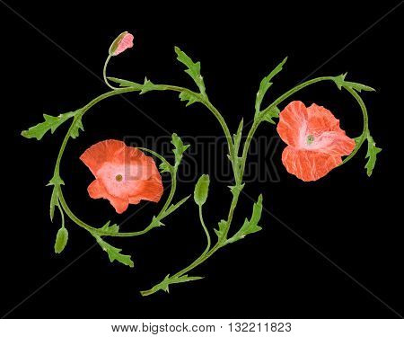 red poppy flower ornament element isolated on black background