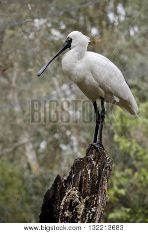 the royal spoonbill is perched high above the pond
