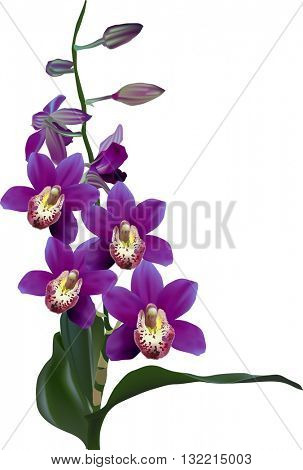 illustration with dark violet orchid isolated on white background