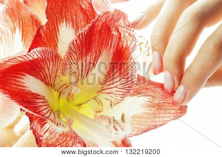 beauty delicate hands with pink Ombre design manicure holding red  flower amaryllis close up isolated warm macro