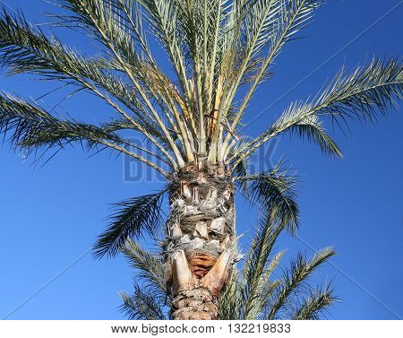 Desert Palm - An upward look of a beautiful of a beautiful desert palm in the American Southwest