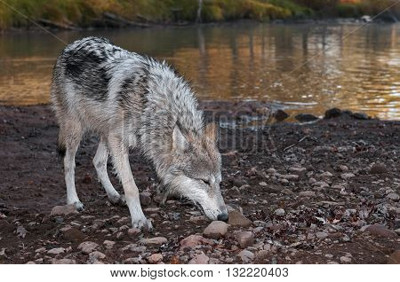 Grey Wolf (Canis lupus) Deep Sniff - captive animal