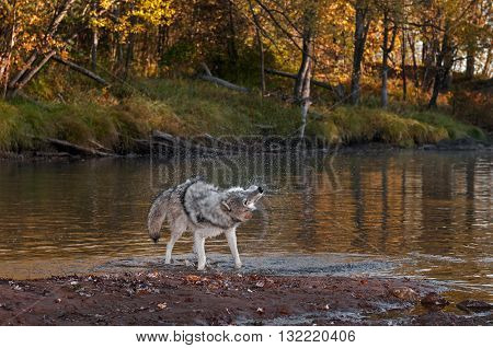 Grey Wolf (Canis lupus) Shakes Off Water - captive animal