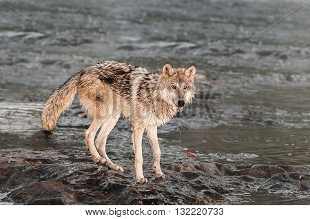 Grey Wolf (Canis lupus) Looks Up From River - captive animal
