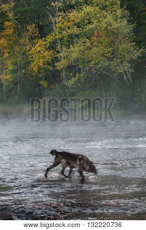 Grey Wolf (Canis lupus) Crosses Misty River - captive animal