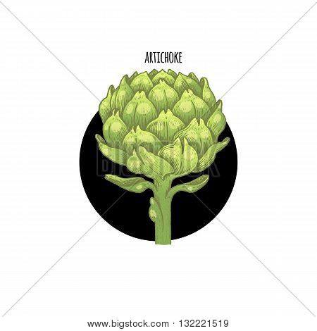Vector color plant Artichoke in black circle on white background. Concept of graphic image of medical plants herbs flowers fruits roots. Design for package of health beauty natural products.