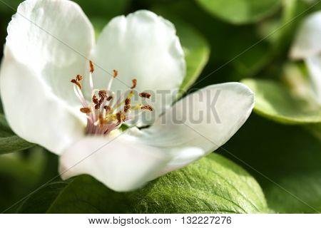 Beautiful quince flower closeup